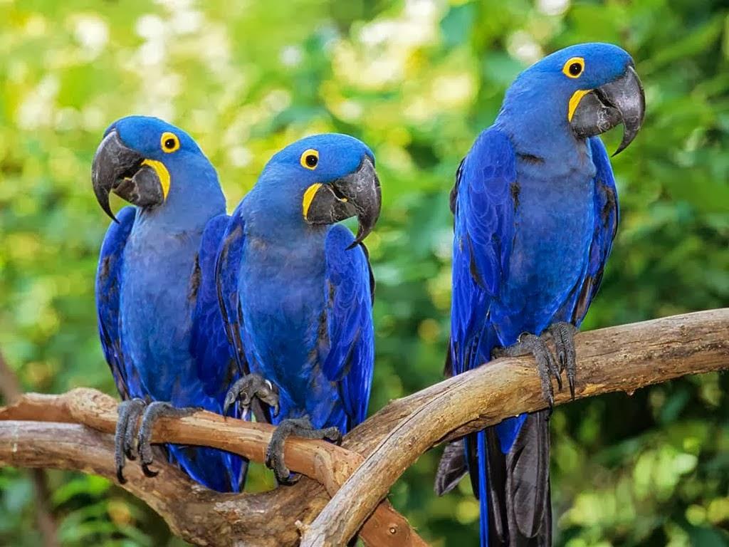 Arara Azul – Guia Completo de Criação e Reprodução  - Página 2 4fa74-guacamayosazules